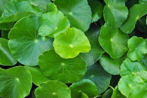 Gotu kola can relieve itchy, scaly skin and help with psoriasis