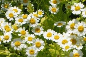herbs used for healing Feverfew