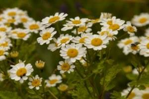 herbs used for healing chamomile