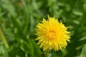 herbs used for healing dandelion