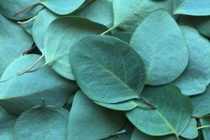 natural herbal medicine herbs used for healing Eucalyptus