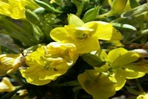 herbs used for healing evening primrose