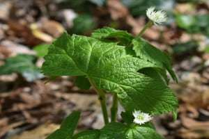 natural healing herbs used for healing Goldenseal