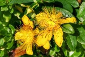 herbs used for healing great St. Johns Wort