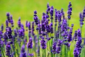 Lavender Essential Oil Help Relieve Anxiety and Fear  herbs used for healing lavender