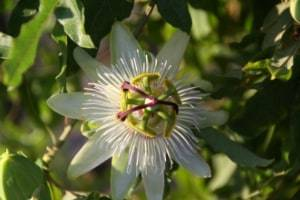 herbal remedies herbs used for healing passionflower