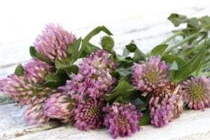 Best Herbs for Womens Health red-clover
