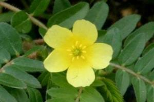 herbs to balance female hormones tribulus terrestris