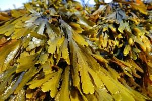 seaweed the most nutrient dense foods in the world