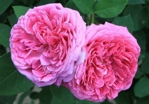 Effects of Damask Rose Essential Oil on Depression, Anxiety, and Stress