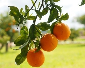 Sweet orange essential oil benefits our mental and emotional state